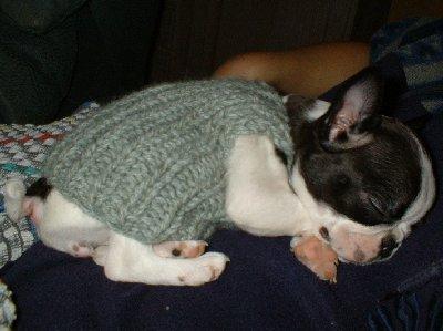 Boston Terrier Franny